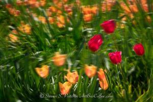 Tulips Steve Patchin