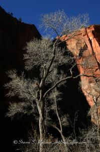 Zion Winter Tree Steve Patchin